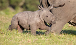 Cute Baby Rhino. Cute baby white rhinoceros running next to it's mother royalty free stock images