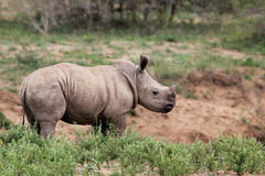 A cute baby rhino in the wild. Somewhere in South Africa stock photography