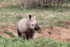 A cute baby rhino in the wild. A cute baby standing rhino in the wild royalty free stock image