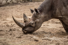 Cute baby rhino at zoo in Berlin. Germany royalty free stock images