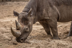 Cute baby rhino at zoo in Berlin. Germany stock photos