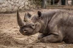 Cute baby rhino at zoo in Berlin. Germany royalty free stock photos
