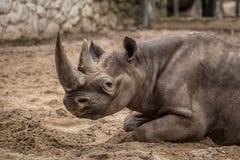 Cute baby rhino at zoo in Berlin royalty free stock photos