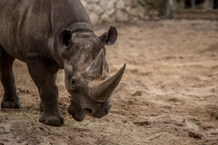 Cute baby rhino at zoo in Berlin. Germany stock images