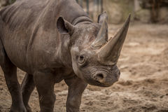 Cute baby rhino at zoo in Berlin stock photos