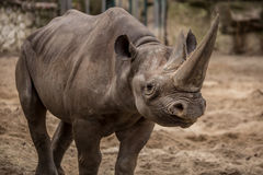 Cute baby rhino at zoo in Berlin. Germany royalty free stock photography
