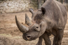 Cute baby rhino at zoo in Berlin royalty free stock photo