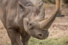 Cute baby rhino at zoo in Berlin stock photography