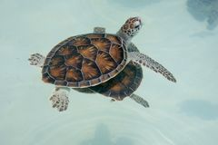 Cute baby sea turtle swimming. Very cute baby sea turtle swimming on top of the the blue ocean waters stock photography