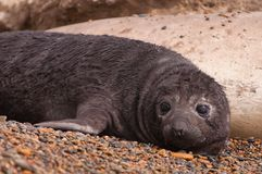 Cute Baby seal Royalty Free Stock Image