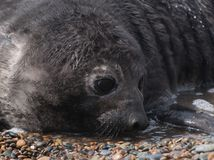 Cute Baby seal Stock Images
