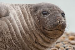 Cute Baby Seal Stock Photography