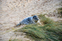 Cute baby seal at the beach royalty free stock photo