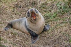 Cute baby seal royalty free stock photos