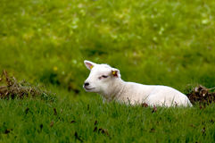 Cute baby sheep. Laying in the fresh meadow stock images