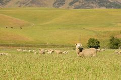 Cute baby sheep farm over green glass field. Farm animal stock images