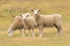 Cute Baby Sheep Over Dry Grass Field Royalty Free Stock Image