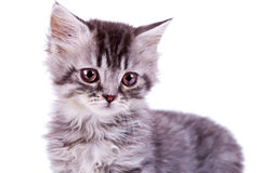 Cute baby silver tabby cat. Closeup picture of a cute baby silver tabby cat on white background Stock Photography