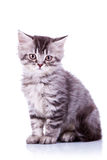 Cute baby silver tabby cat. Sitting on white background Stock Photo