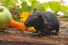 Cute baby of skinny guinea pig. A cute baby of skinny guinea pig close up royalty free stock image