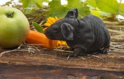 Cute baby of skinny guinea pig Stock Photos
