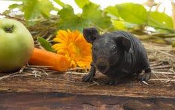 Cute baby of skinny guinea pig. A cute baby of skinny guinea pig close up stock image