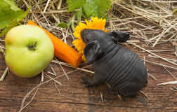 Cute baby of skinny guinea pig Royalty Free Stock Image