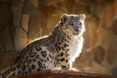 Cute baby snow leopard Stock Images