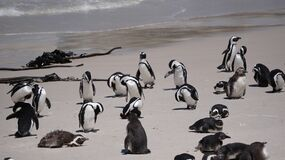 Free Cute Baby South African Penguin Shedding In Boulders Beach Near Cape Town South Africa Stock Photo - 173040060