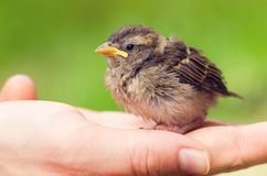 Cute baby sparrow in hand Stock Photos