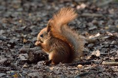 Cute baby squirrel eating a nut on the ground. Cute baby red squirrel eating a nut on the ground stock photos