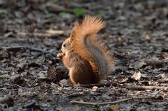 Cute baby squirrel eating a nut on the ground. Cute baby red squirrel eating a nut on the ground stock images