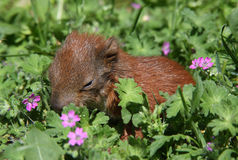 Cute baby squirrel Stock Photos