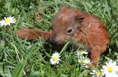 Cute baby squirrel Stock Photo