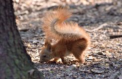 Baby squirrel sniffing the ground. Cute baby squirrel sniffing the ground in forest stock image