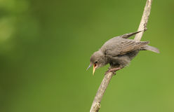 A cute baby Starling Sturnus vulgaris perched on a branch calling. A cute baby Starling Sturnus vulgaris perched on a branch calling to its parents to be fed Stock Photo