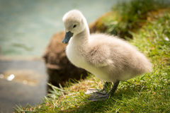 Cute Baby Swan Stock Photography