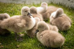Cute Baby Swans Royalty Free Stock Images
