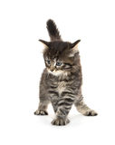 Cute baby tabby kitten on white Royalty Free Stock Images