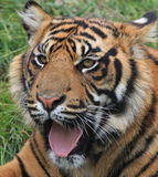 Cute Baby Tiger Cub. Close-up portrait of a cute young tiger cub yawning royalty free stock photo
