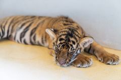 Cute baby tiger. royalty free stock photos