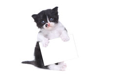 Cute Baby Tuxedo Style Kitten On White Background Stock Photography
