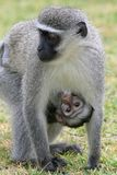 Cute Baby Vervet Monkey Stock Photography