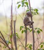 Cute baby vervet monkey Stock Photos