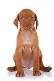 Cute baby vizsla dog. Seating on a white background and looking to the camera Royalty Free Stock Photo