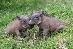 Cute Baby Warthogs Stock Image