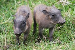 Cute Baby Warthogs stock image