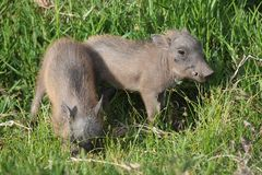 Cute Baby Warthogs Royalty Free Stock Photo