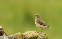 A cute baby Wheatear, Oenanthe oenanthe, perched on a mossy rock.. Royalty Free Stock Photography
