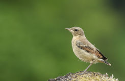 A cute baby Wheatear, Oenanthe oenanthe, perched on a mossy rock.. Stock Photography